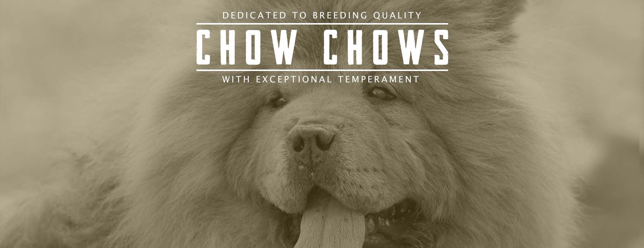 Dedicated to Breeding Quality Chow Chows with Exceptional